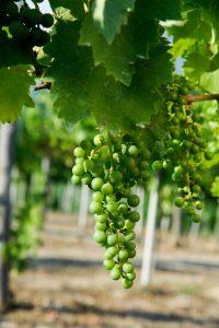 ciclo della vite piccoli grappoli d'uva