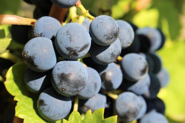 maturazione uva aglianico in irpinia grottolella