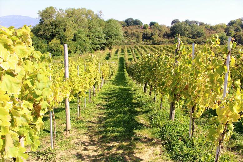 Greco di Tufo vino irpino