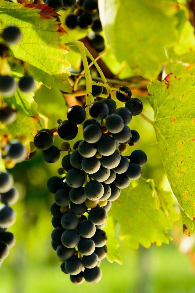 Aglianico uva rossa