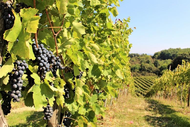 Vino aglianico prodotto dal vitigno di Crypta Castagnara