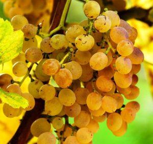 maturazione dell'uva in un vitigno irpino