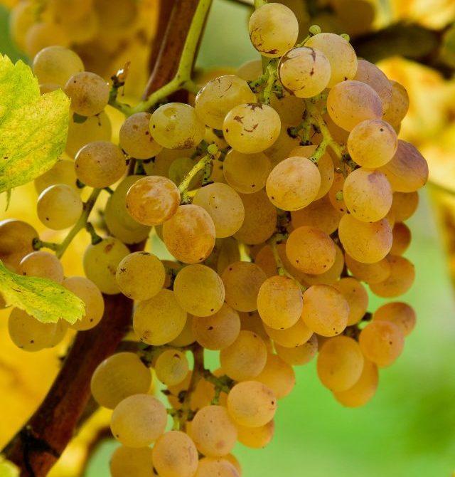 Vini Irpini, vitigno Fiano di Avellino