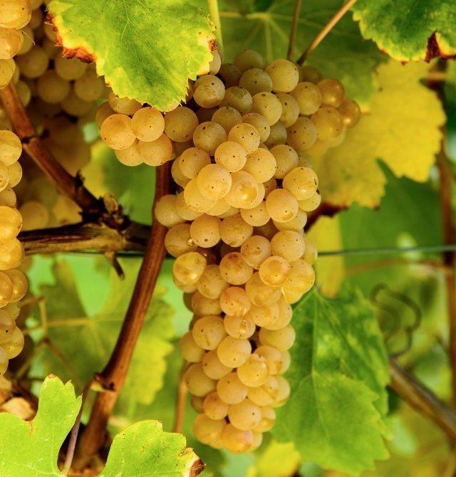 Vino Greco di Tufo